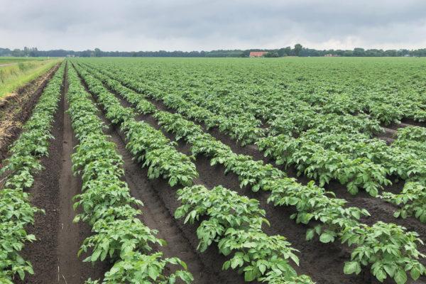 Corteva - aardappelveld